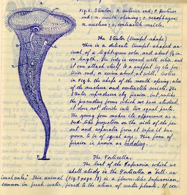 The protozoa Stentor.