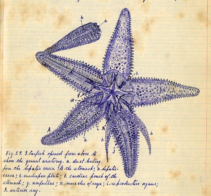 The dissection of a starfish: perhaps the most spectacular of Mather's drawings.