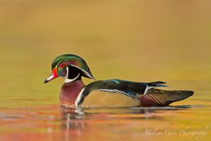 Wood duck, photo by Melissa Groo