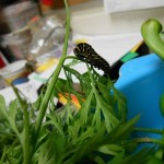 Swallowtail on carrot tops