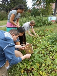 Students harvest black beans from the garden!