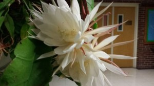 20140923_Bill Berghoff night blooming cereus